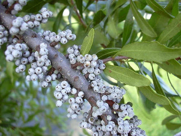Bayberry Southern Wax Myrtle
