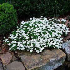 Candytuft