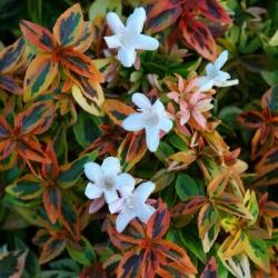 Abelia Kaleidoscope East Coast Garden Center