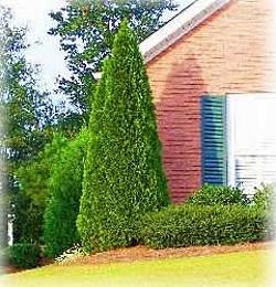 Arborvitae 39 emerald green 39 east coast garden center for Accent tree for corner of house