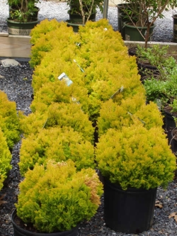 Arborvitae Rheingold Dwarf Evergreen Shrub