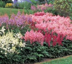 Astilbe
