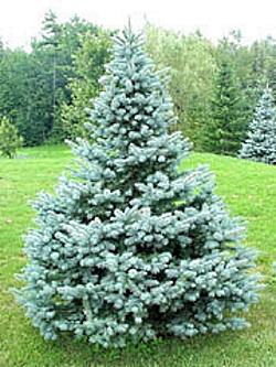 Spruce Colorado