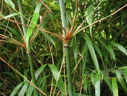 Bamboo 39 Rufa 39 East Coast Garden Center