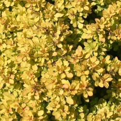 Barberry Sunjoy