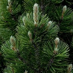 Pine Bosnian
