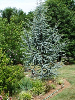 Cedar 'Blue Atlas'
