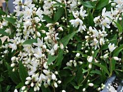 deutzia yuki snowflake east coast garden center