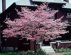 Dogwood Stellar Pink East Coast Garden Center