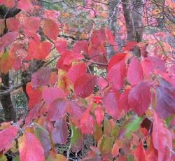 Dogwood, Red Twig