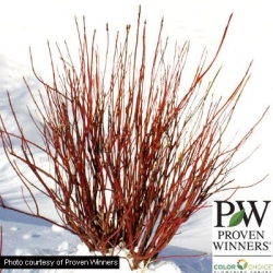 Dogwood, Red Twig
