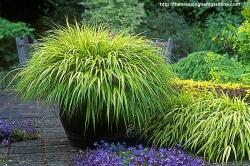 Hakonechloa Japanese Forest Grass