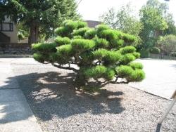 Pine, Black
