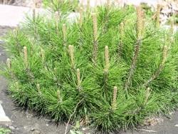 Pine Dwarf Mugo