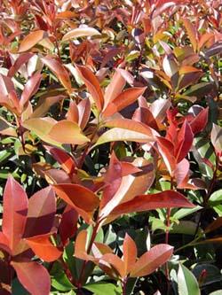 Photinia Red Tip