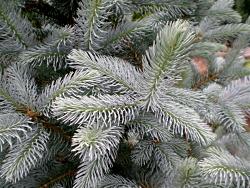 Spruce,  Colorado Blue