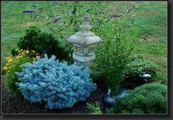 Spruce, Globosa Colorado Blue