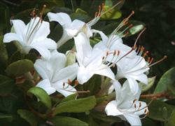 Swamp Rose Mallow, Hibiscus