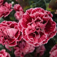Carnation Day - $2 Off Perennial Dianthus