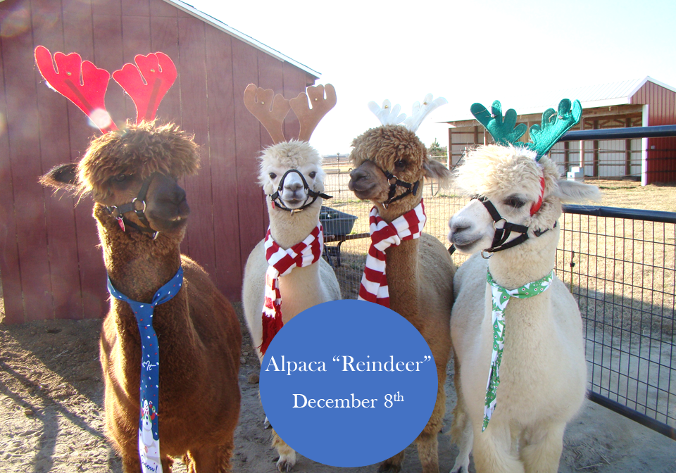Alpaca-Reindeer Holly Days - East Coast Garden Center