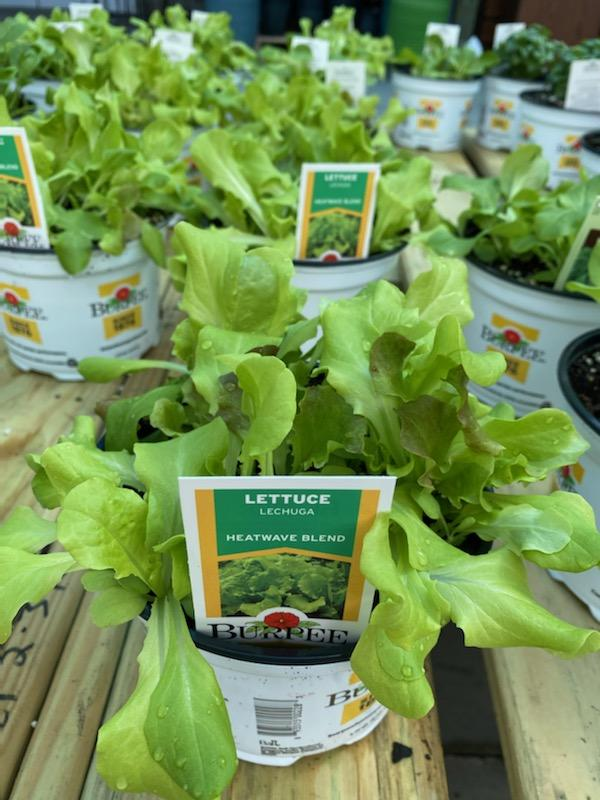 Lettuce - 5
