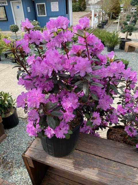 Rhododendron PJM - 3 Gallon