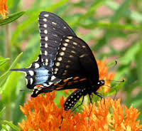 black swallowtail on orange asclepias