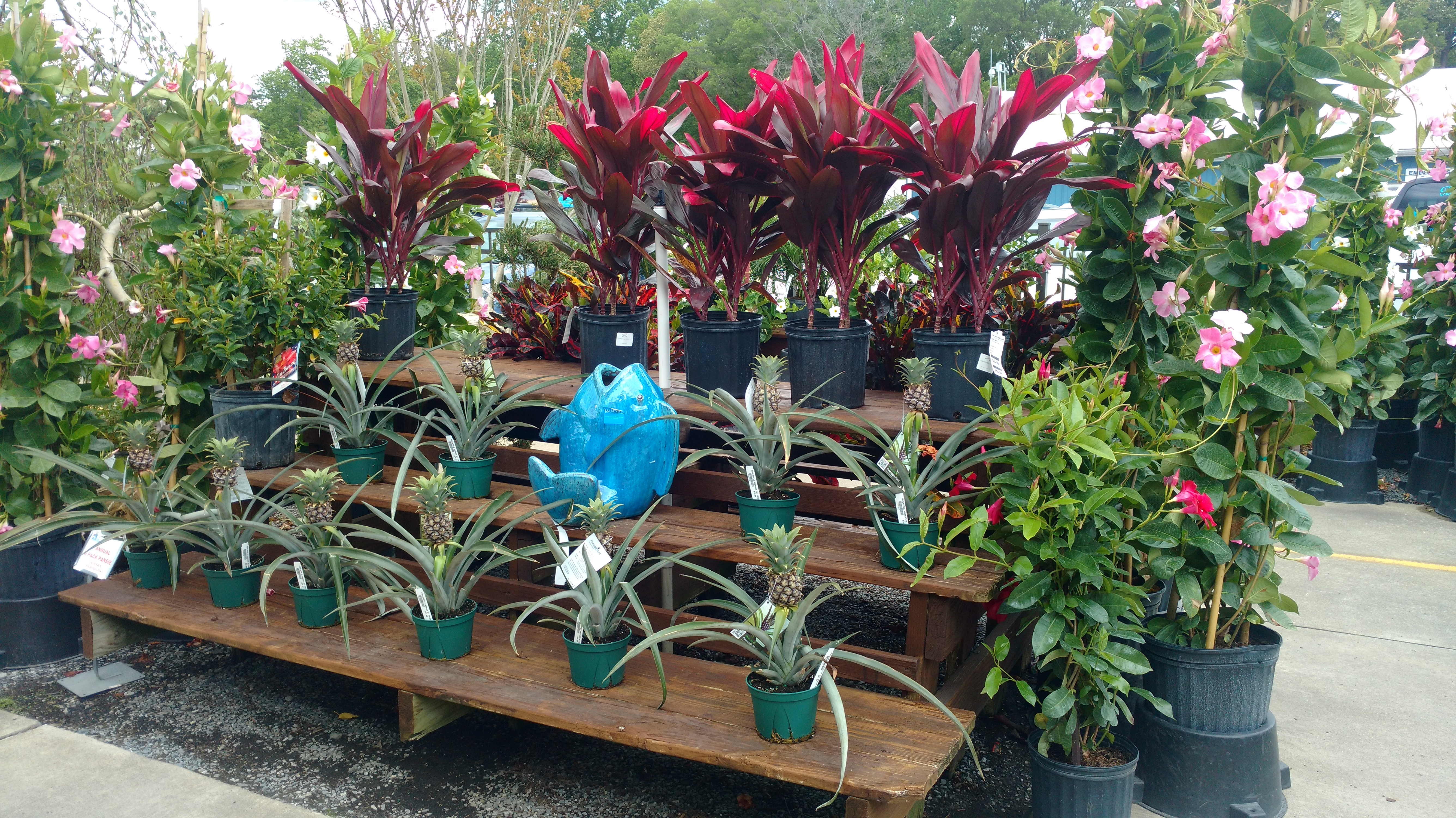 tropicals_pineapples_2017 Tropical Day! - East Coast Garden Center